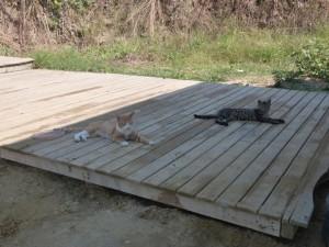 sörfcü kediler